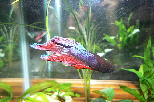 Male Betta Splendens