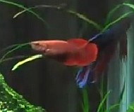 Female Betta Splendens fish