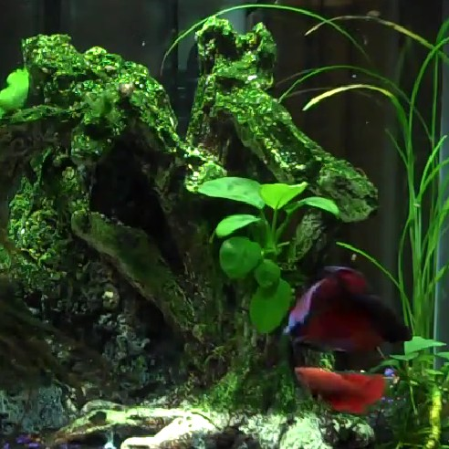 First encounter of female and male Betta fish